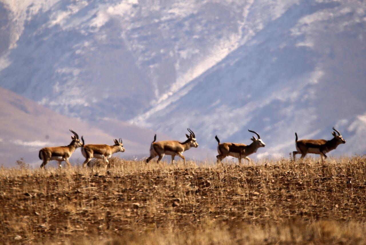 اجرای طرح «نذر طبیعت» در زنجان برای نجات آهوها