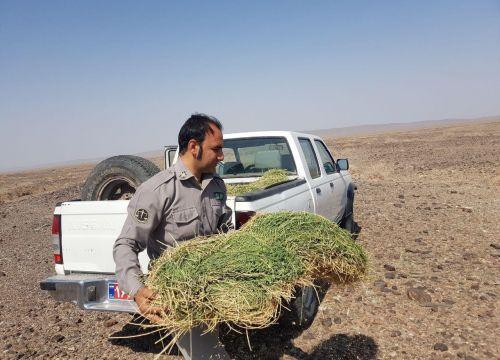 توزیع علوفه برای تغذیه حیات وحش در منطقه شکار ممنوع بلبل آب نصرت آباد زاهدان